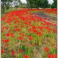 深紅の絨毯・彼岸花