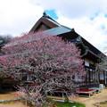 観照寺の梅