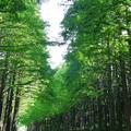 Photos: メタセコイヤ並木