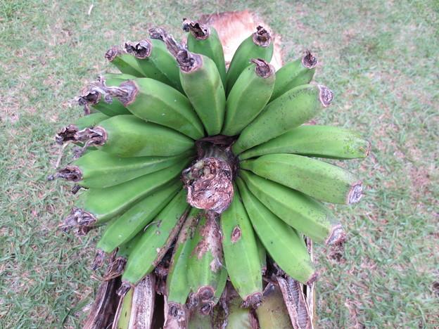 宮崎ミニミニバナナ収穫