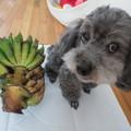 写真: 宮崎ミニミニバナナ収穫