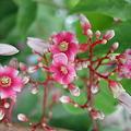 スターフルーツの花