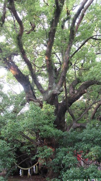浜松八幡宮(浜松市)雲立の楠(くもたちのくす)