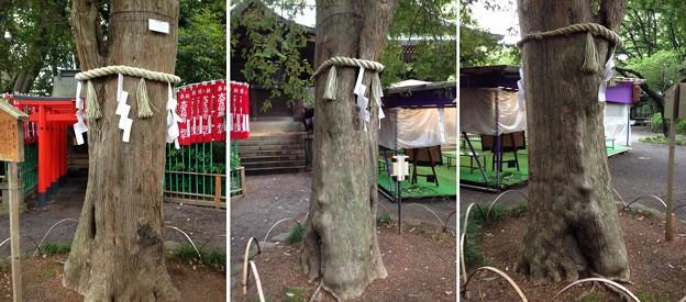 大宮八幡宮(杉並区)共生の木