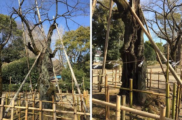 鷲宮神社(久喜市)源義家駒つなぎの桜