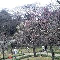Photos: 江戸後楽園の梅はまだまだな...