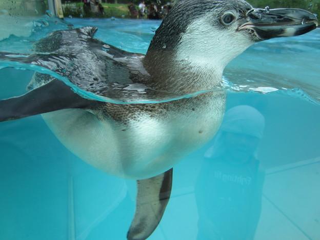 フンボルトペンギン (5)