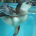 Photos: フンボルトペンギン (5)