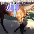 Photos: サトノダイヤモンド(5回中山9日 10R 第61回グランプリ 有馬記念(GI)出走馬)