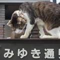 写真: 銀座ネコ