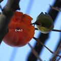 Photos: ~柿食えば~