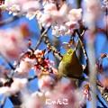 Photos: ~梅は咲いたし、桜も咲いた♪~
