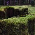 写真: 平泉寺白山神社の苔むす切り株