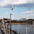 写真: 手賀沼の情景 ユリカモメ