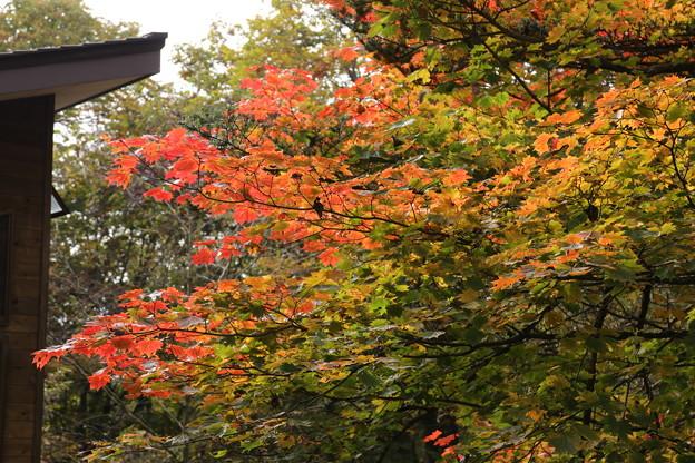 上日川峠の紅葉
