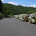 写真: 枝川内アジサイランド