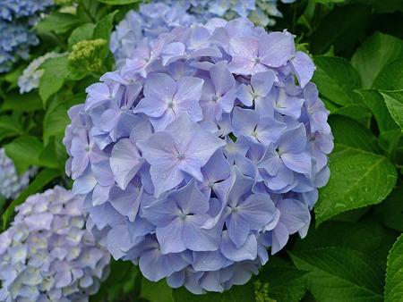雨の宮地嶽神社(13)紫陽花