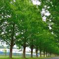 写真: メタセコイア並木 3