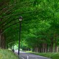 写真: メタセコイア並木 1