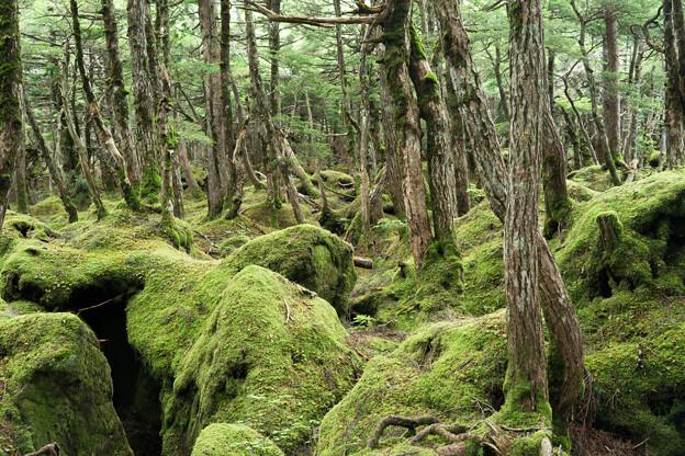 北八ヶ岳の原生林