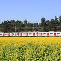 103系電車と菜の花畑