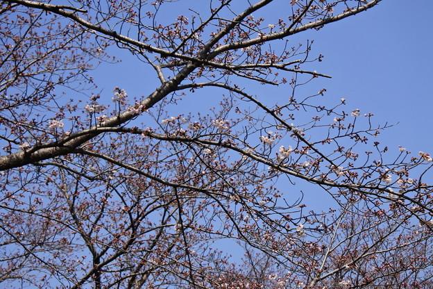 写真: 桜市05