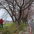 写真: 桜04
