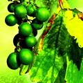~町内で見つけた「季節外れの葡萄」~