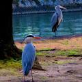 写真: B~それぞれの鷺の思い~「どっちもどっち~♀~(;´Д`)」