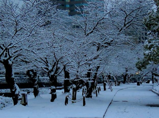 ~雪が舞 桜並木は 雪並木~