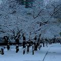 写真: ~雪が舞 桜並木は 雪並木~