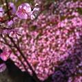 ~梅の花 次は桜に バトンタッチ~~おはようございます~(^^♪