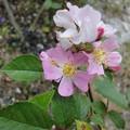 160619-2 一重のピンクのバラ