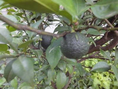 160802-3 柚子
