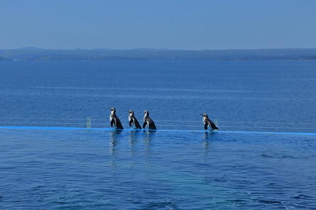 ペンギンさん 日本海をお散歩?
