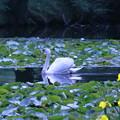 Photos: 白鳥池で