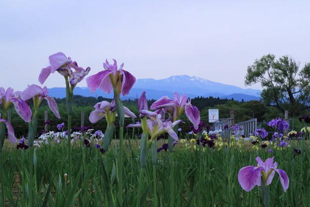 木場潟公園 白山と花菖蒲