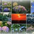 大乗寺丘陵公園 紫陽花