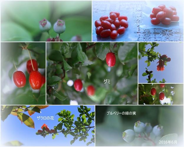 Photos: グミ ブルーベリーの緑の実 ザクロの花