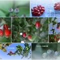 グミ ブルーベリーの緑の実 ザクロの花