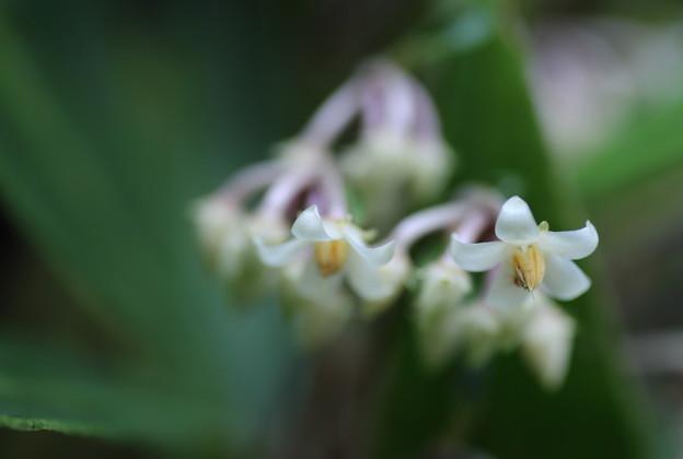 カラタチバナの花