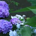 紫陽花と白鳥(3) まって~!