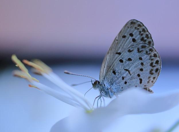 白蝶草にヤマトシジミ(1)