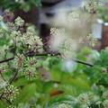 Photos: 金沢湯涌 江戸村 ウドの花
