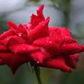 真紅のバラ 滴