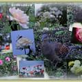 バラ園のキジバト