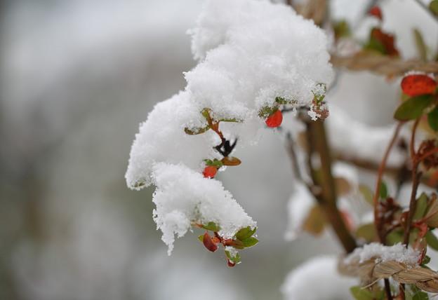 能登キリシマ に雪帽子