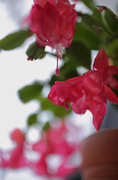 シャコバサボテンが開花~♪