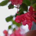 Photos: シャコバサボテンが開花~♪