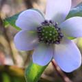 写真: 雪割草が開花